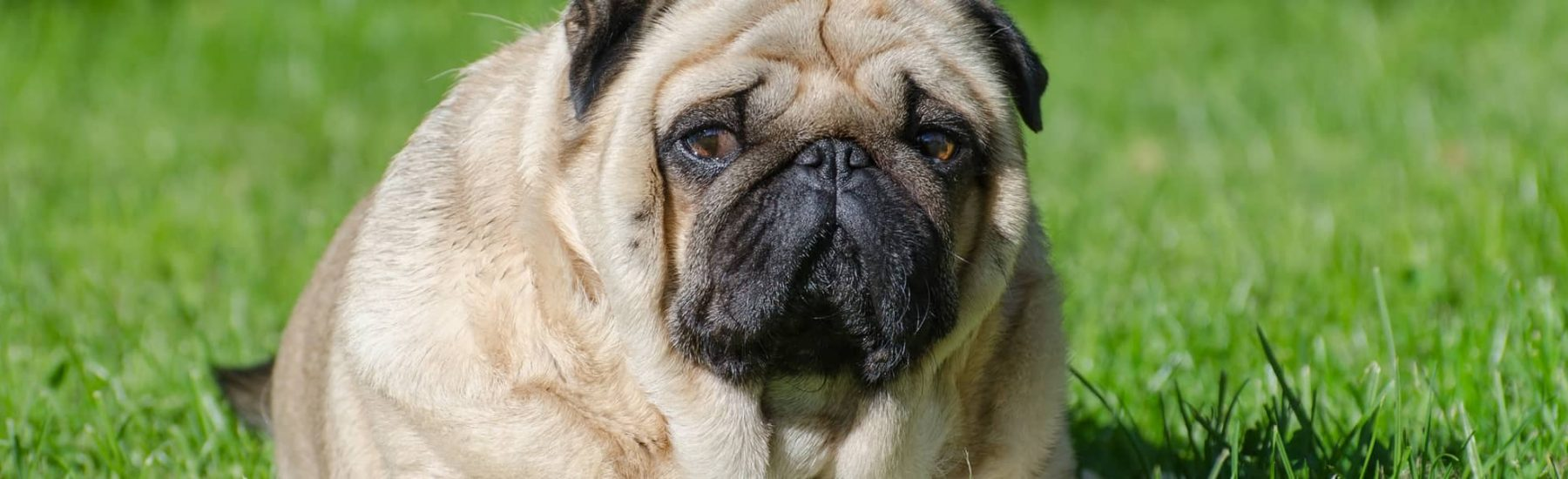 Overweight french bull dog on grass