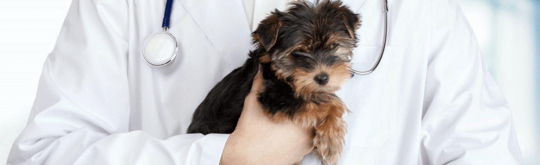 Cute Yorkshire Terrier puppy held by a Vet
