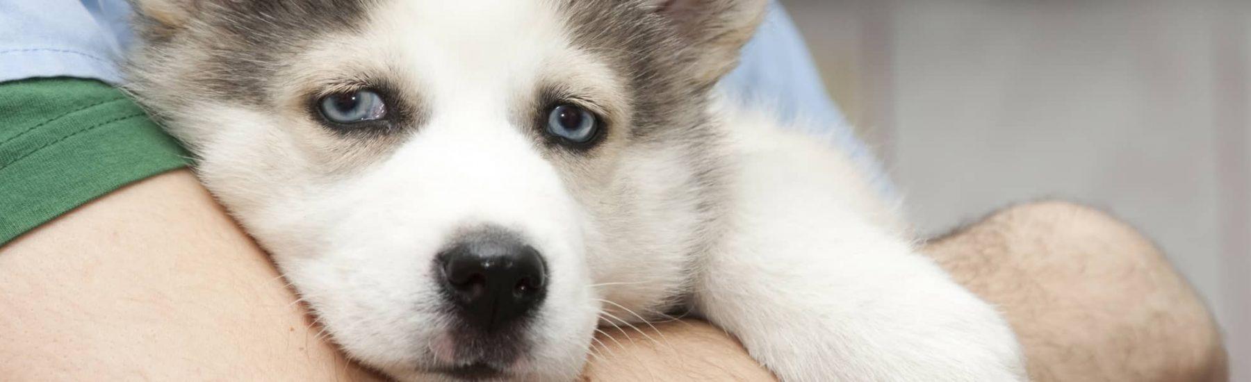 Sad Husky Dog