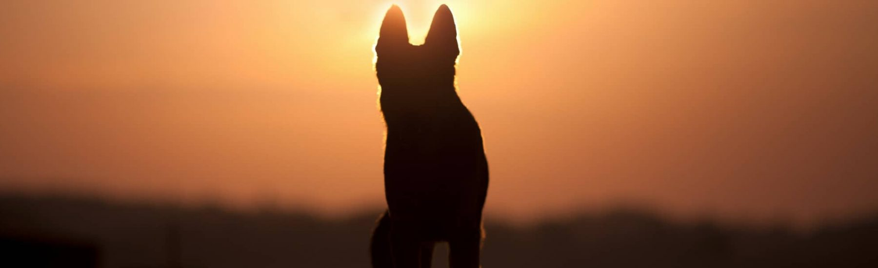 Dog at Sunset