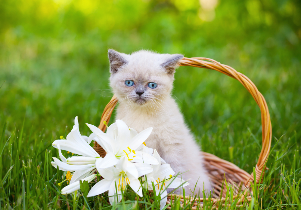 Cat in a basket with lillies