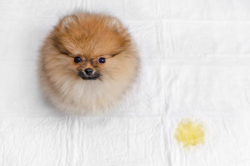 Pomeranian beside a pee stain