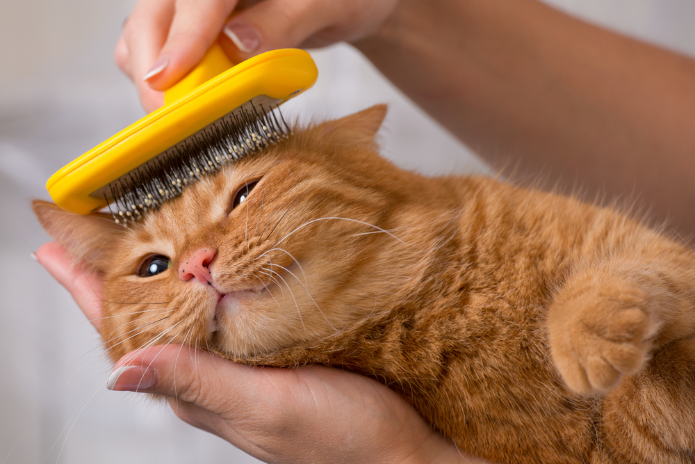 Ginger cat getting combed