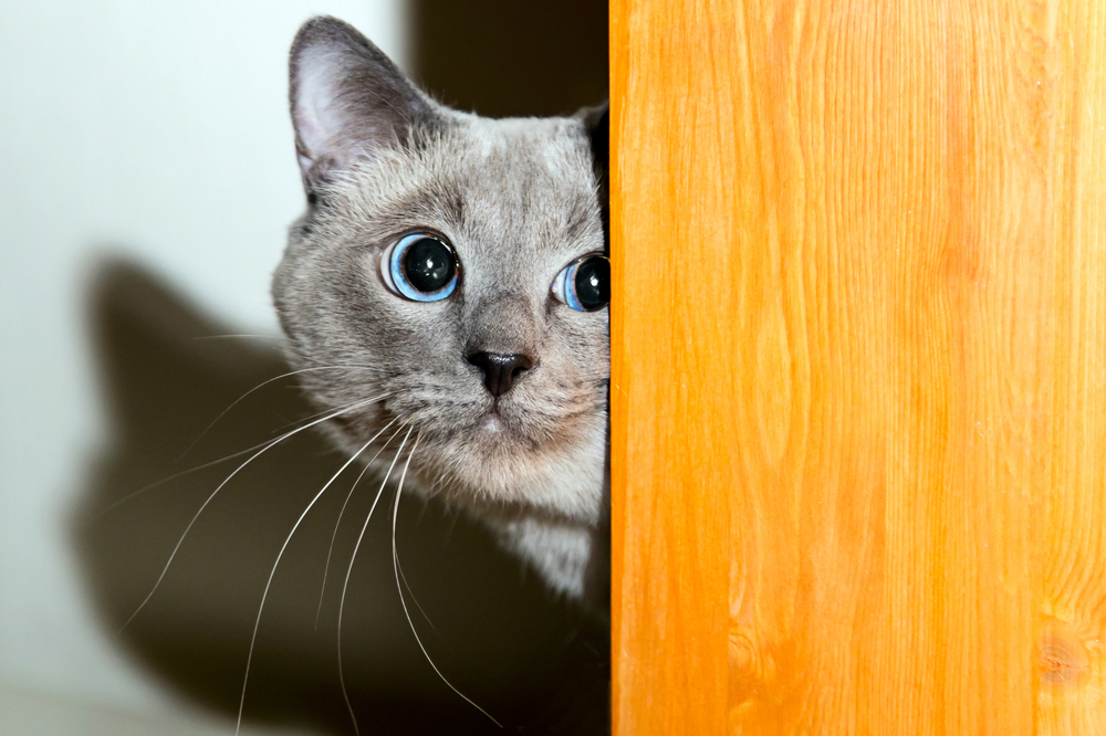 Kitten with blue eyes hiding behind a door frame
