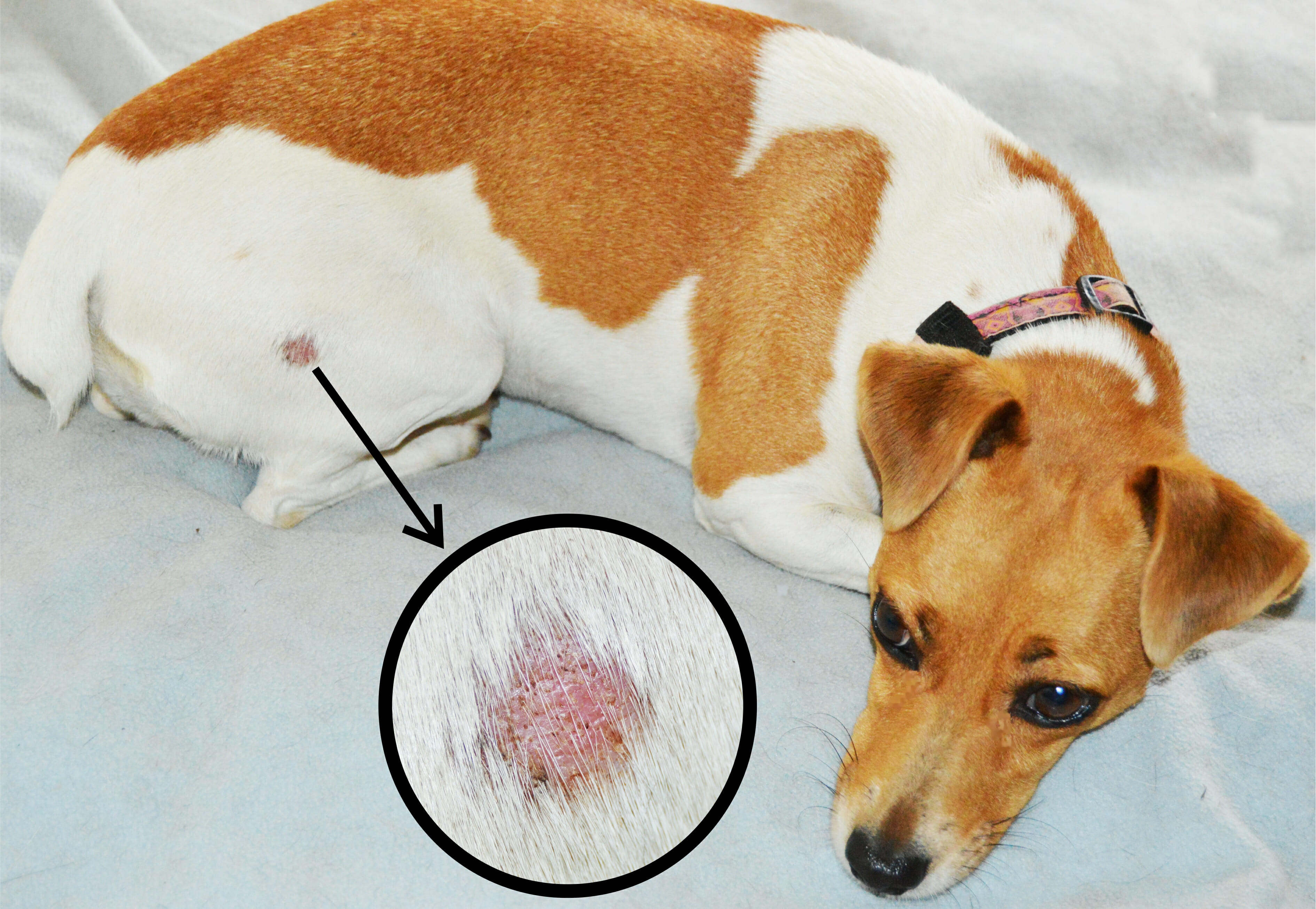 Ringworm in Cats and Dogs   Corydon Animal Hospital